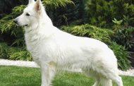 A fehér juhászkutya elfogadása